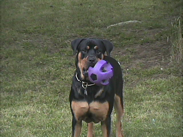 Roxy with her purple soccer ball in the backyard (July 2005)